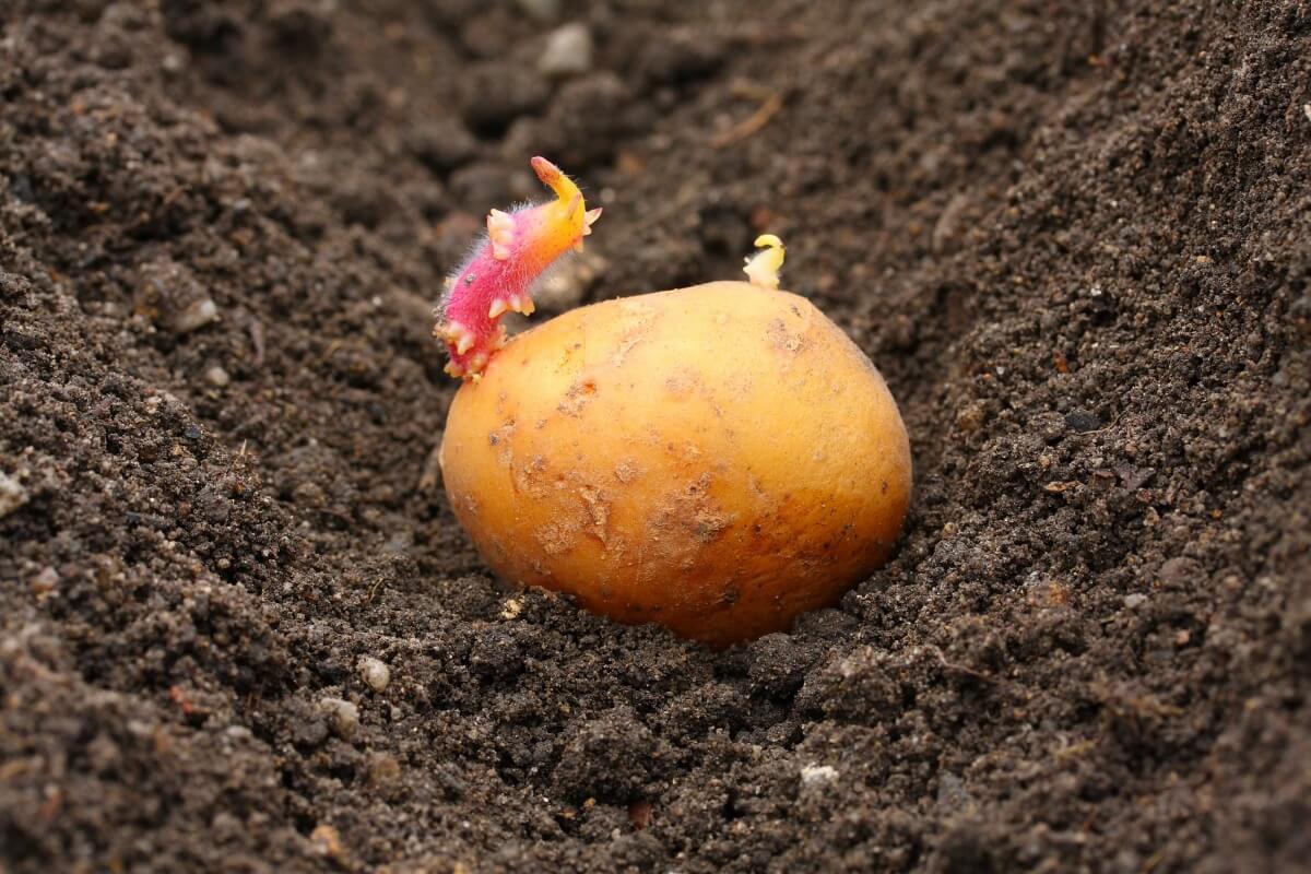 Выбор картофеля для посадки