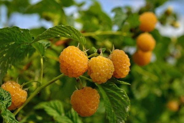 На фото: сорт малины Абрикосовая