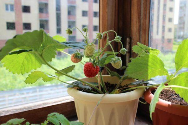 Как вырастить клубнику на подоконнике в домашних условиях
