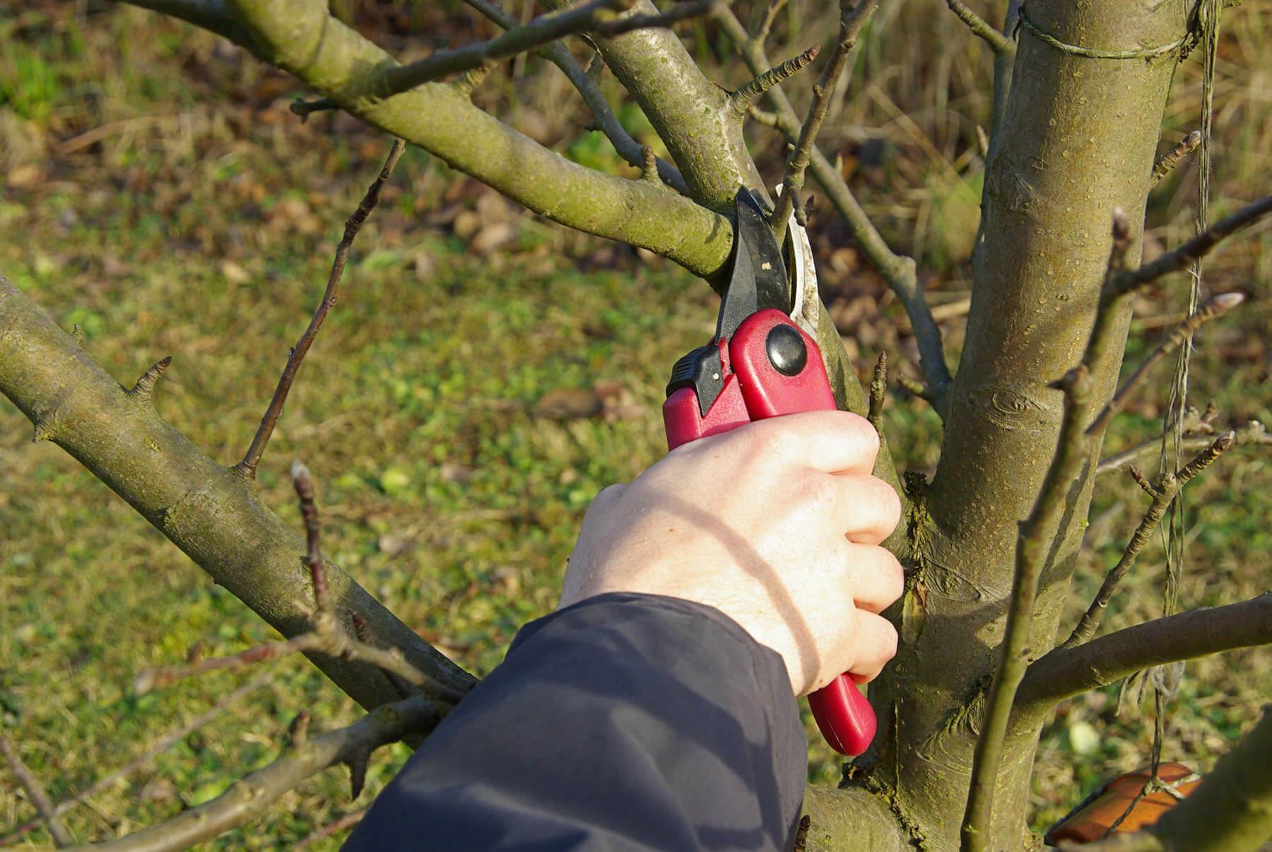 Как обрезать яблоню и грушу весной