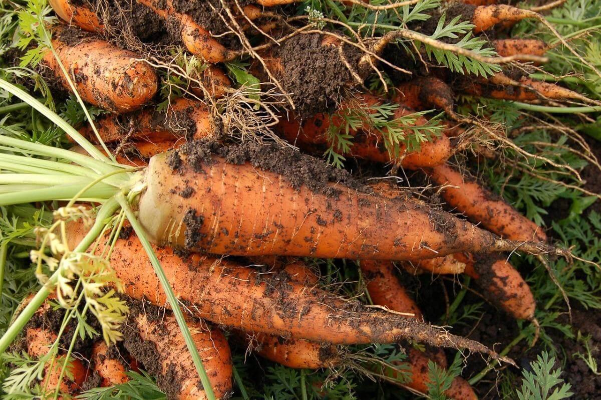 Как вырастить морковь на даче в открытом грунте