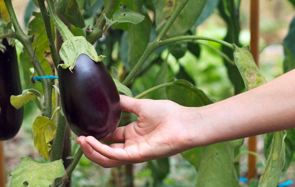 На фото: урожай баклажанов