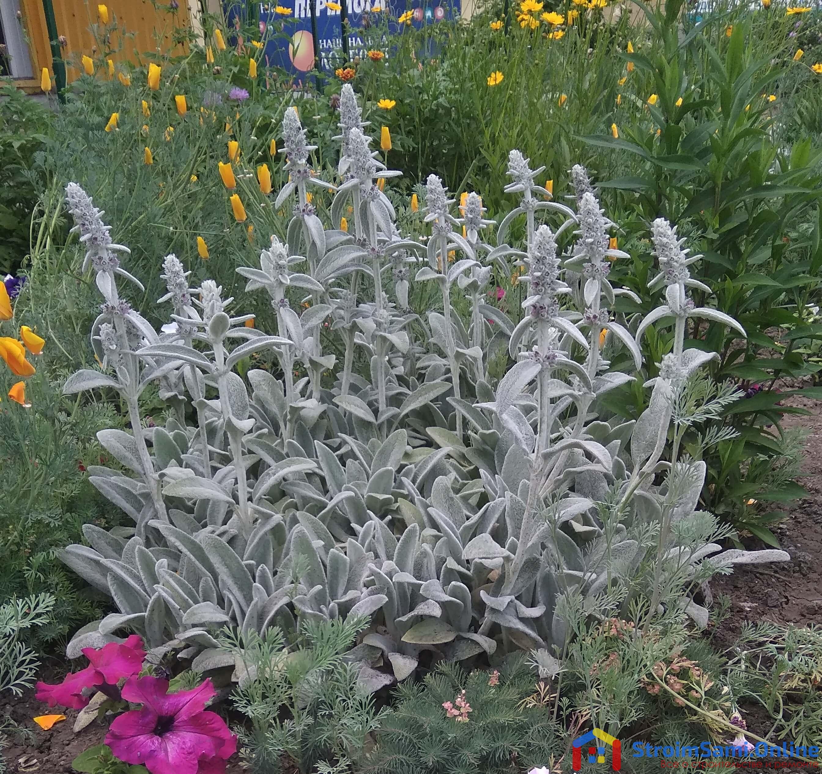 На фото: Стахис шерстистый, чистец - садовые цветы многолетники