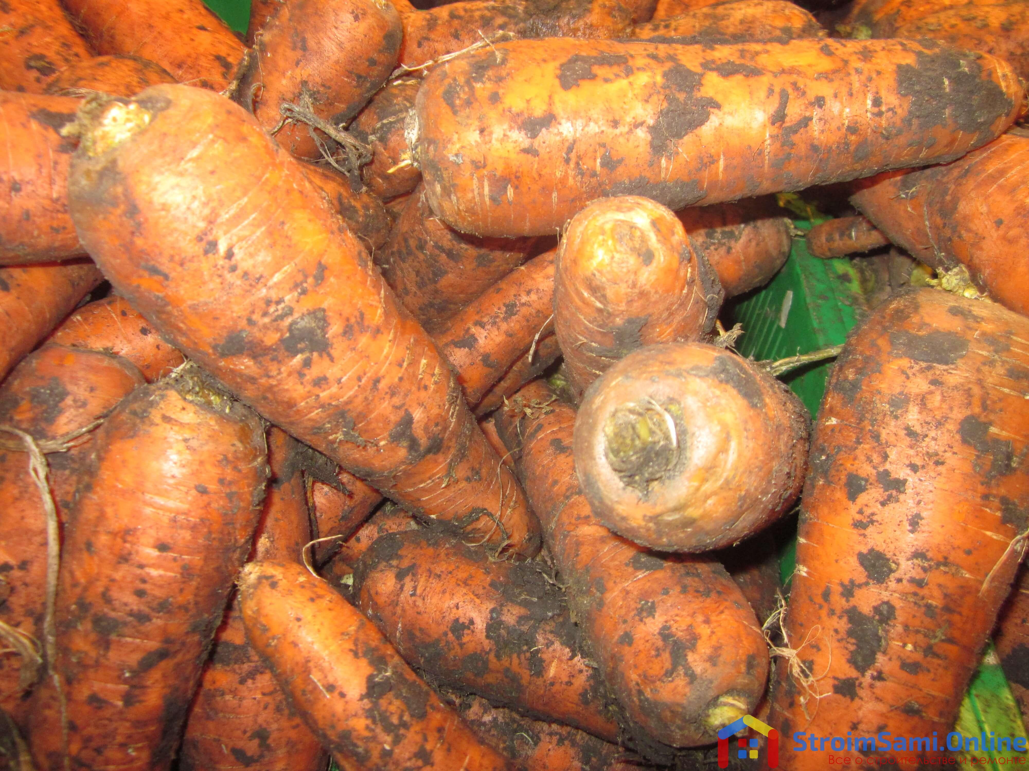 На фото: урожай моркови (авторское фото)