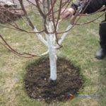 Когда правильно белить деревья — весной или осенью?