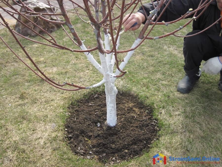 На фото: побелка деревьев