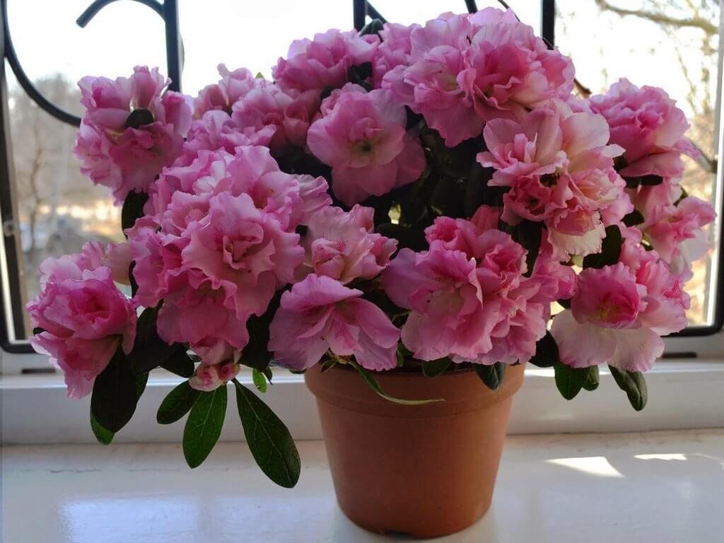 На фото: цветок азалия в горшке