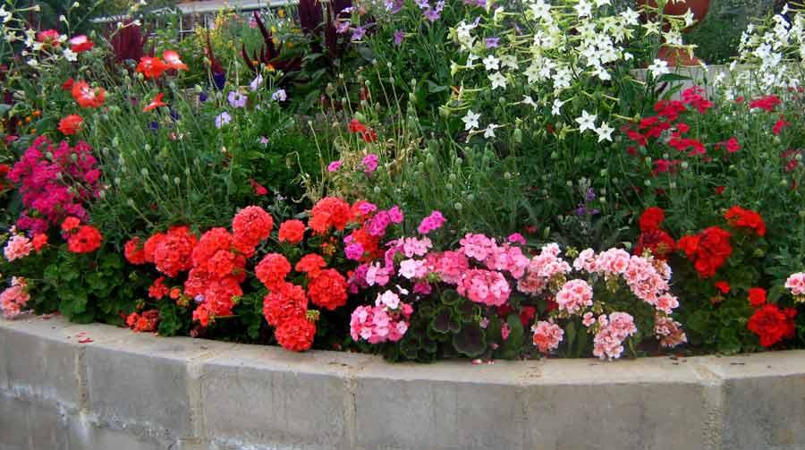 Пеларгония: фото цветов на клумбе