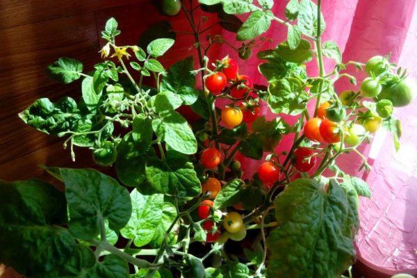 На фото: помидоры Лукошко на окошке