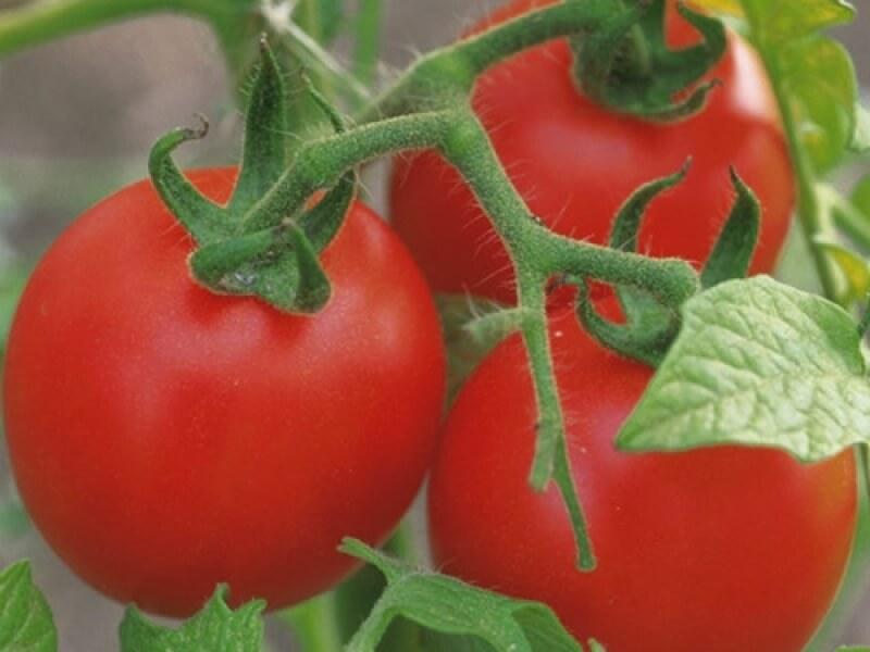 На фото: сорт томатов «Пародист»