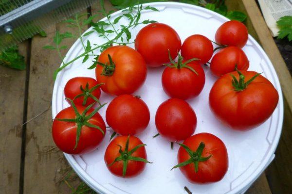 На фото: сорт томатов «Яблонька России»