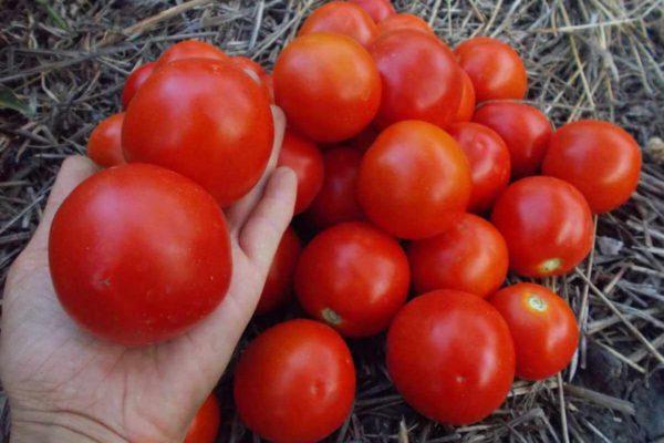 На фото: сорт томатов «Ямал»