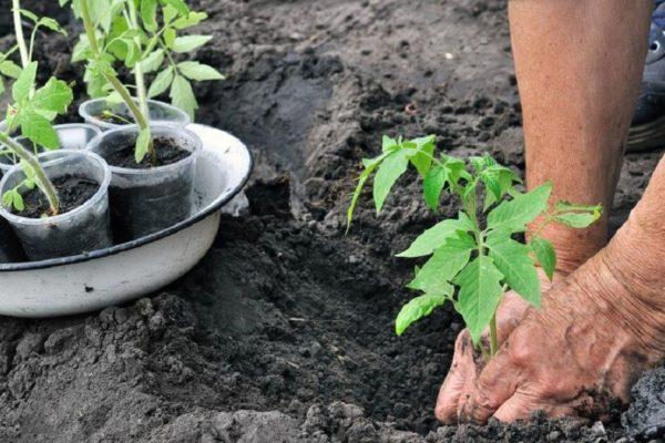 На фото: высадка томатов в открытый грунт