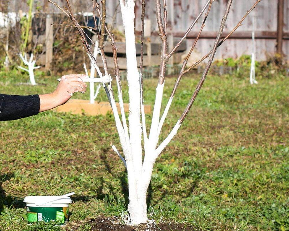 На фото: уход за плодовыми деревьями