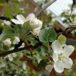 Весенний уход за яблонями: вот что нужно сделать прежде всего