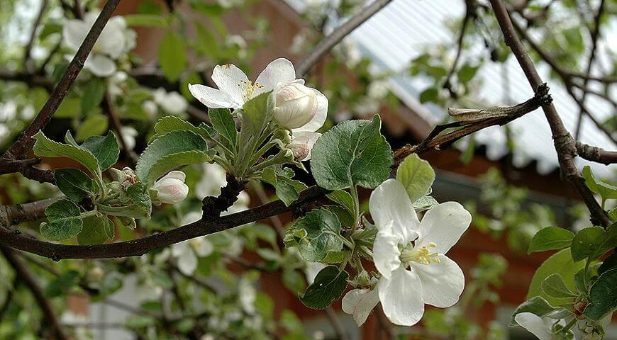 На фото: уход за яблоней весной