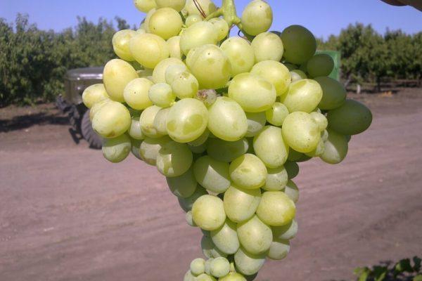 На фото: виноград сорта Аркадия