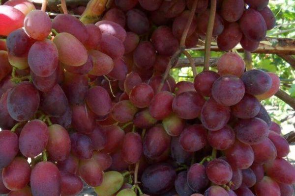 На фото: виноград сорта Кармакод
