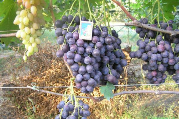 На фото: виноград сорта Страшенский