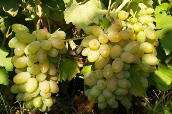 На фото: виноград сорта Тимур