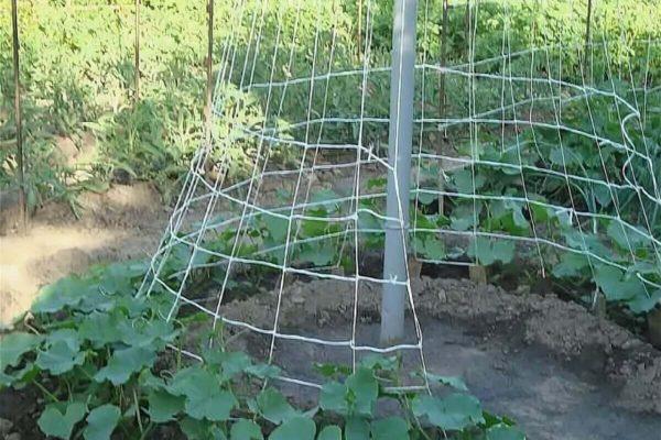 На фото: способ посадки огурцов шалашом (елочкой)
