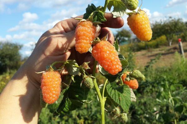 На фото: сорт малины «Оранжевое чудо»