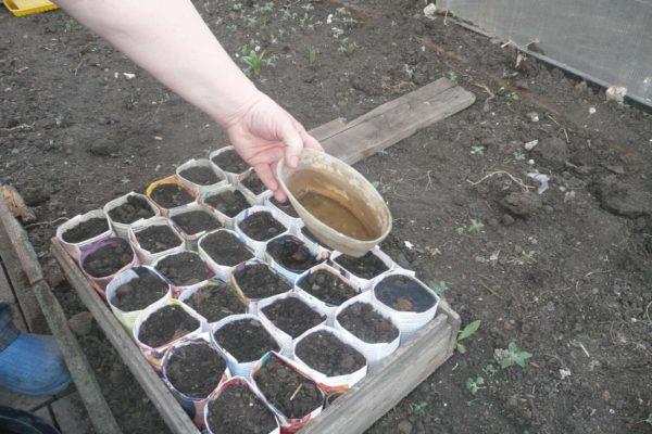 На фото: подготовка грунта для посева семян томатов