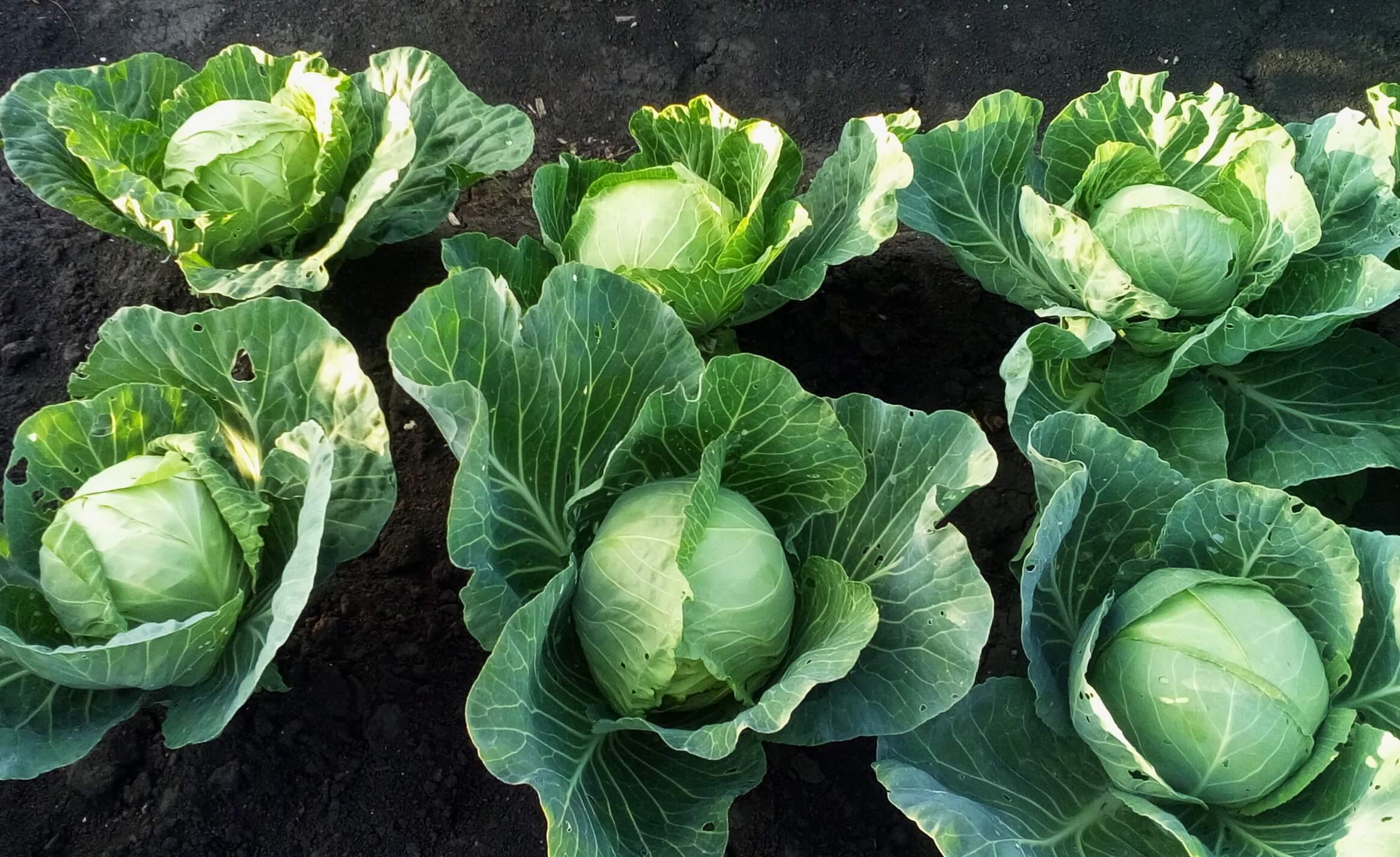 На фото: урожай белокочанной капусты