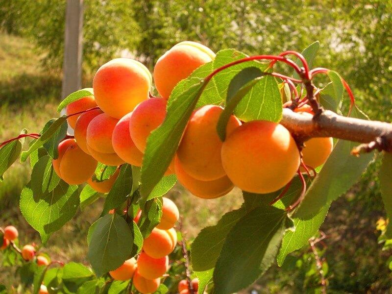 На фото: абрикосы