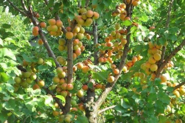На фото: абрикосовое дерево