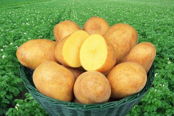 """На фото: сорт картофеля """"Адретта"""""""