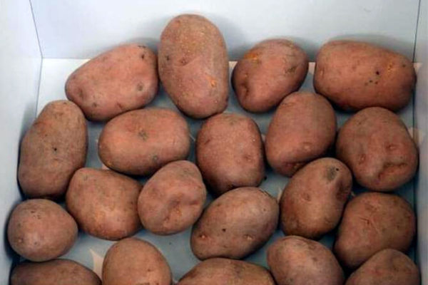 "На фото: сорт картофеля ""Беллароза"""