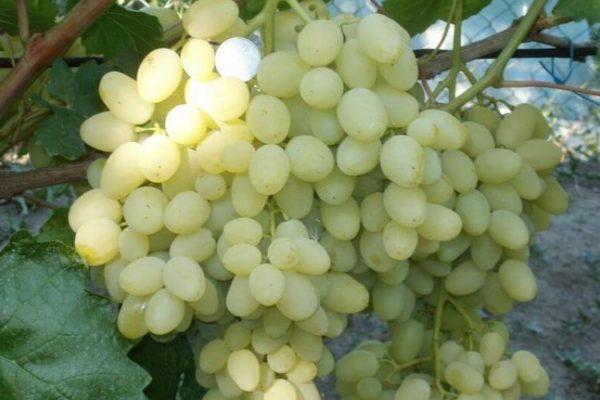 На фото: сорт винограда Долгожданный