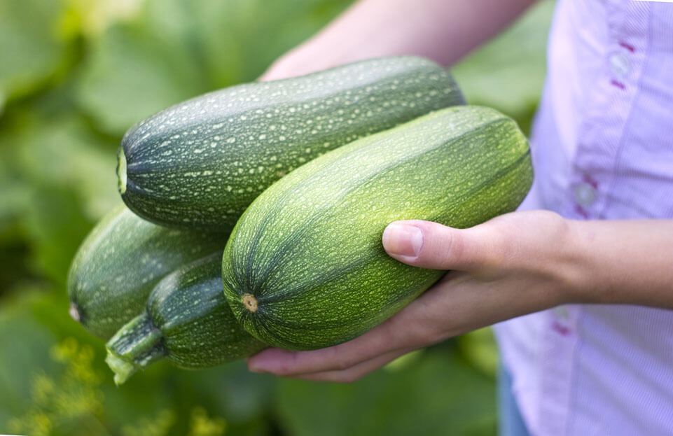 На фото: урожай кабачков