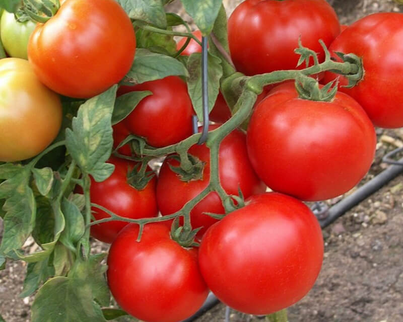 На фото: томаты на ветке