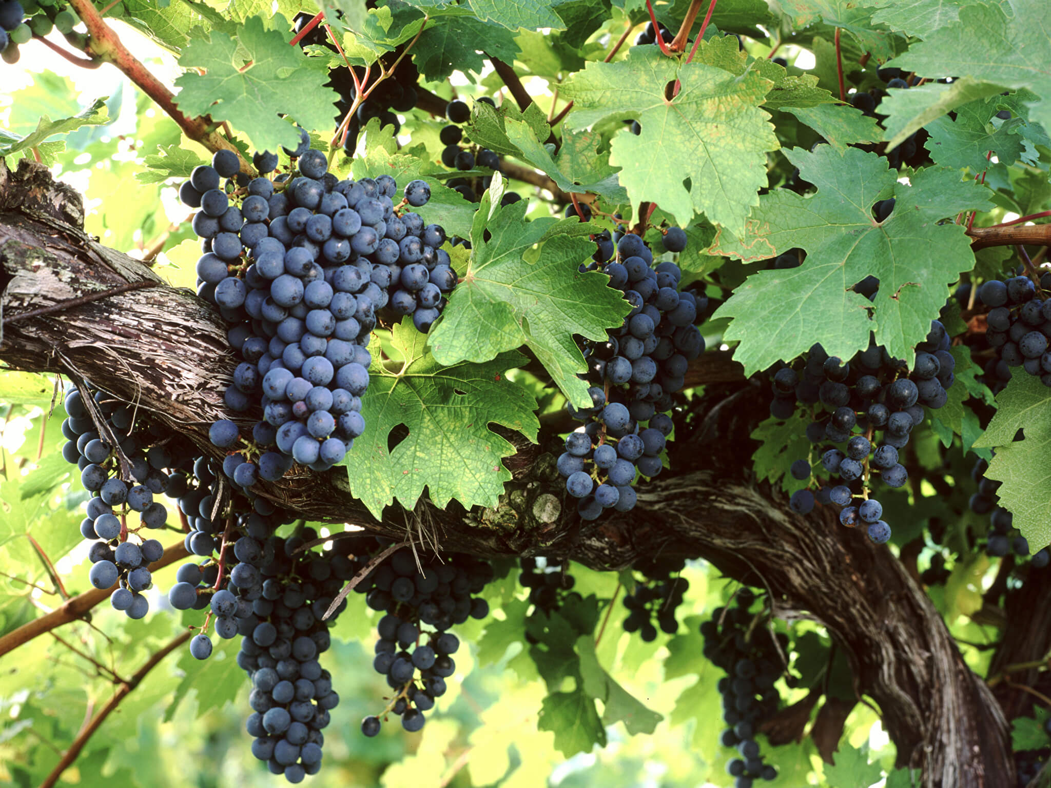На фото: виноград на ветке