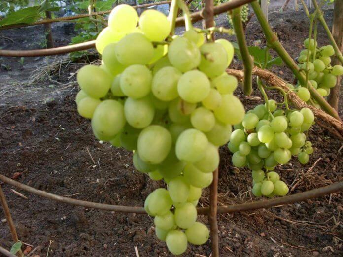 На фото: виноград в Подмосковье