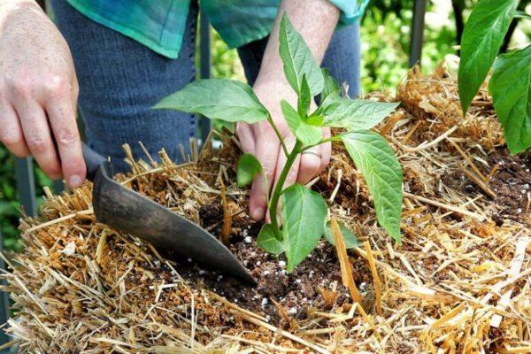 На фото: выращивание перца на соломе