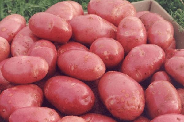"""На фото: сорт картофеля """"Ред Скарлетт"""""""