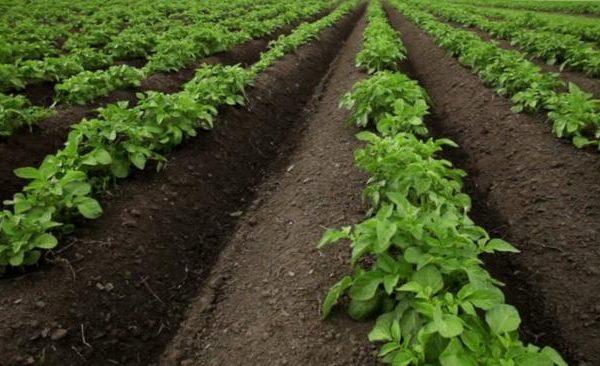 На фото: гребневая посадка картофеля