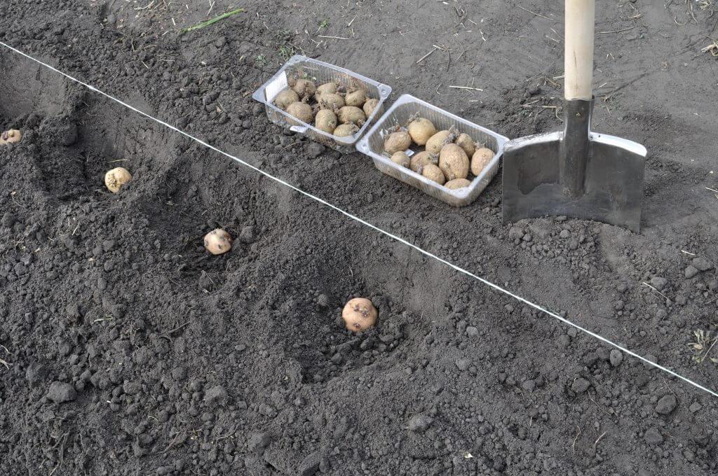 На фото: посадка картофеля под лопату