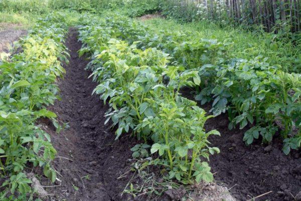 На фото: картофель растет в огороде