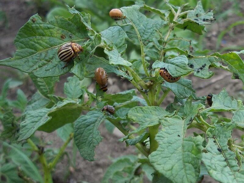 На фото: колорадский жук на ботве картофеля