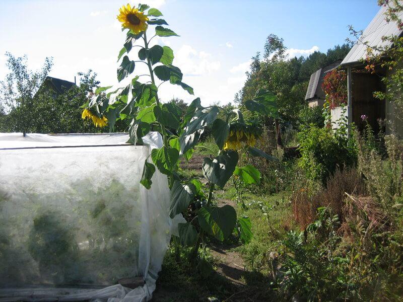 На фото: подсолнух растет рядом с грядкой с огурцами