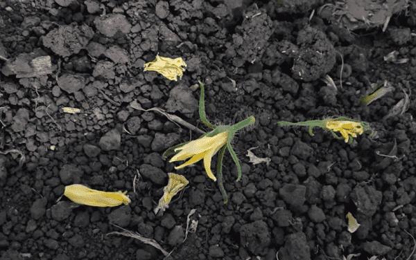 На фото: опавшие цветы томатов