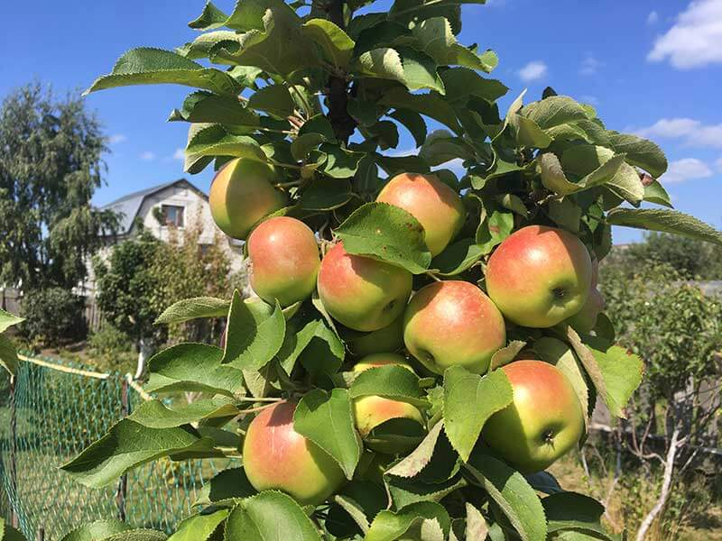 На фото: урожай яблок на дереве