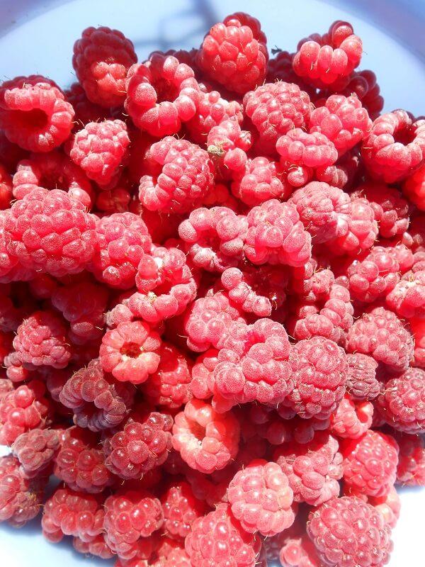 На фото: собранные ягоды малины (авторское фото)