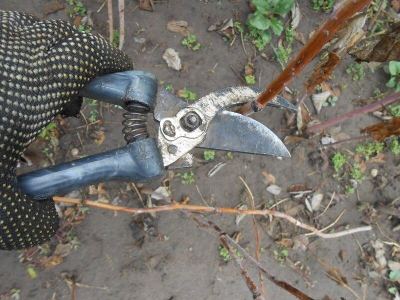 На фото: обрезка малины осенью (авторское фото)