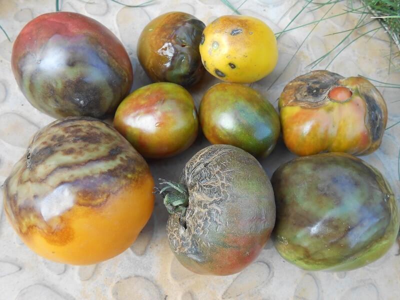 На фото: фитофтора на помидорах (авторское фото)