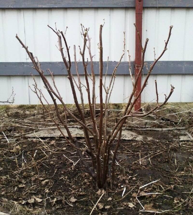 На фото: обрезанный куст смородины осенью